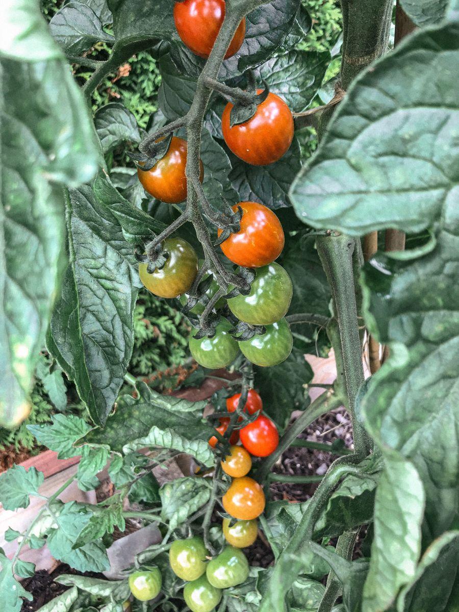 Freilandtomate Buschtomaten Anbau Tomato Vegetables Food