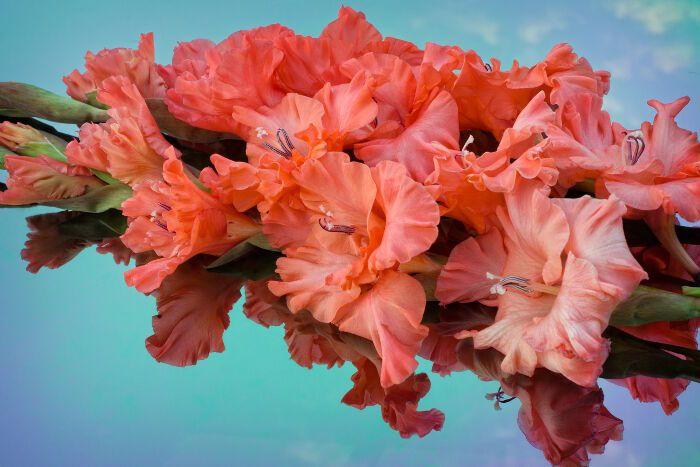 Gladiolus Flower Meaning August Birth Flower Gladiolus Flower Meaning Gladiolus Flower