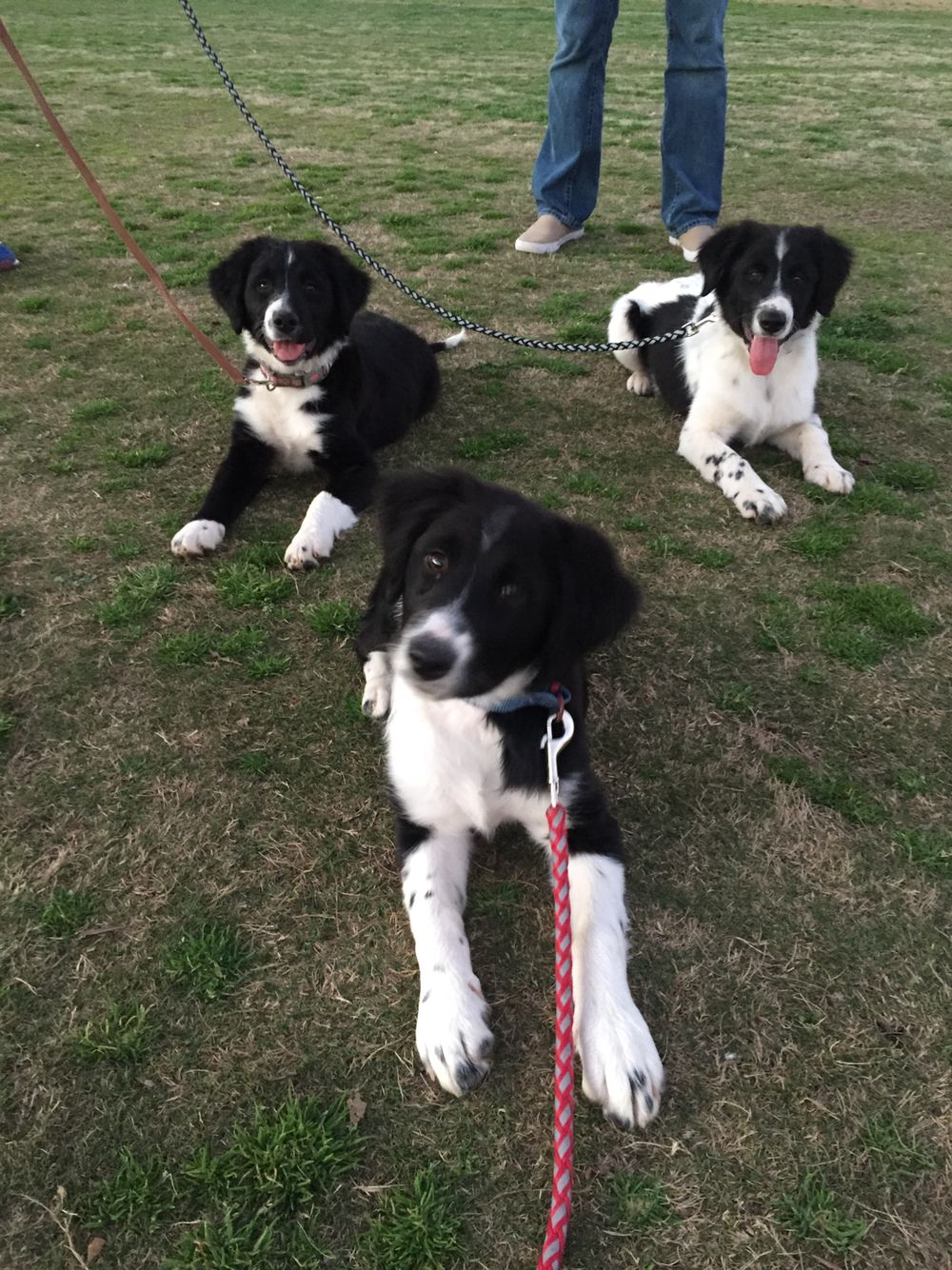 Border Collie Brittany Spaniel Siblings Love 3 Border Collie