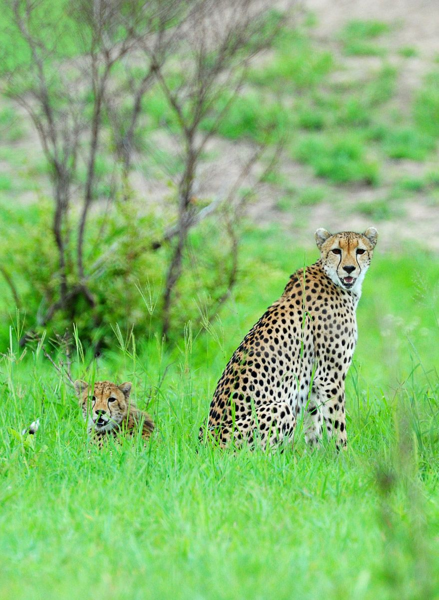 Cheetahs Of The Kruger National Park Are Not Easy To Find Kruger National Park Cheetahs Wild Dogs