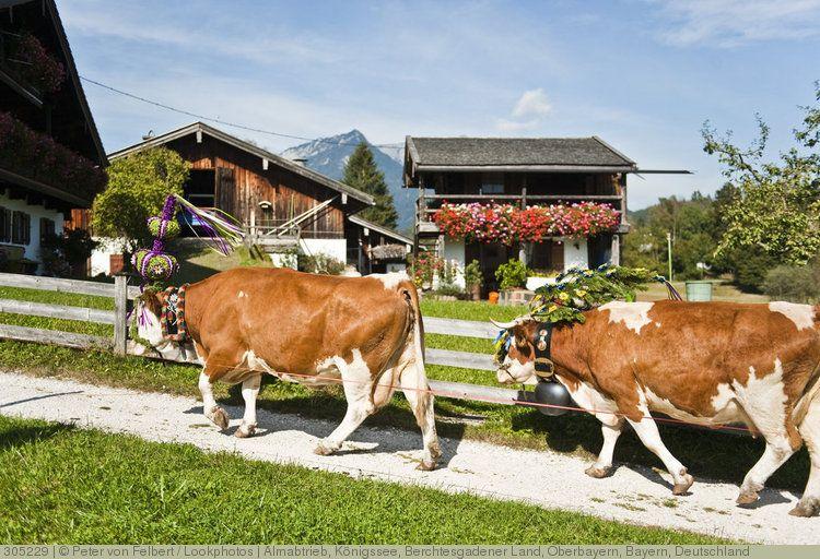 Almabtrieb, Königssee, Berchtesgadener Land, Oberbayern, Bayern, Deutschland