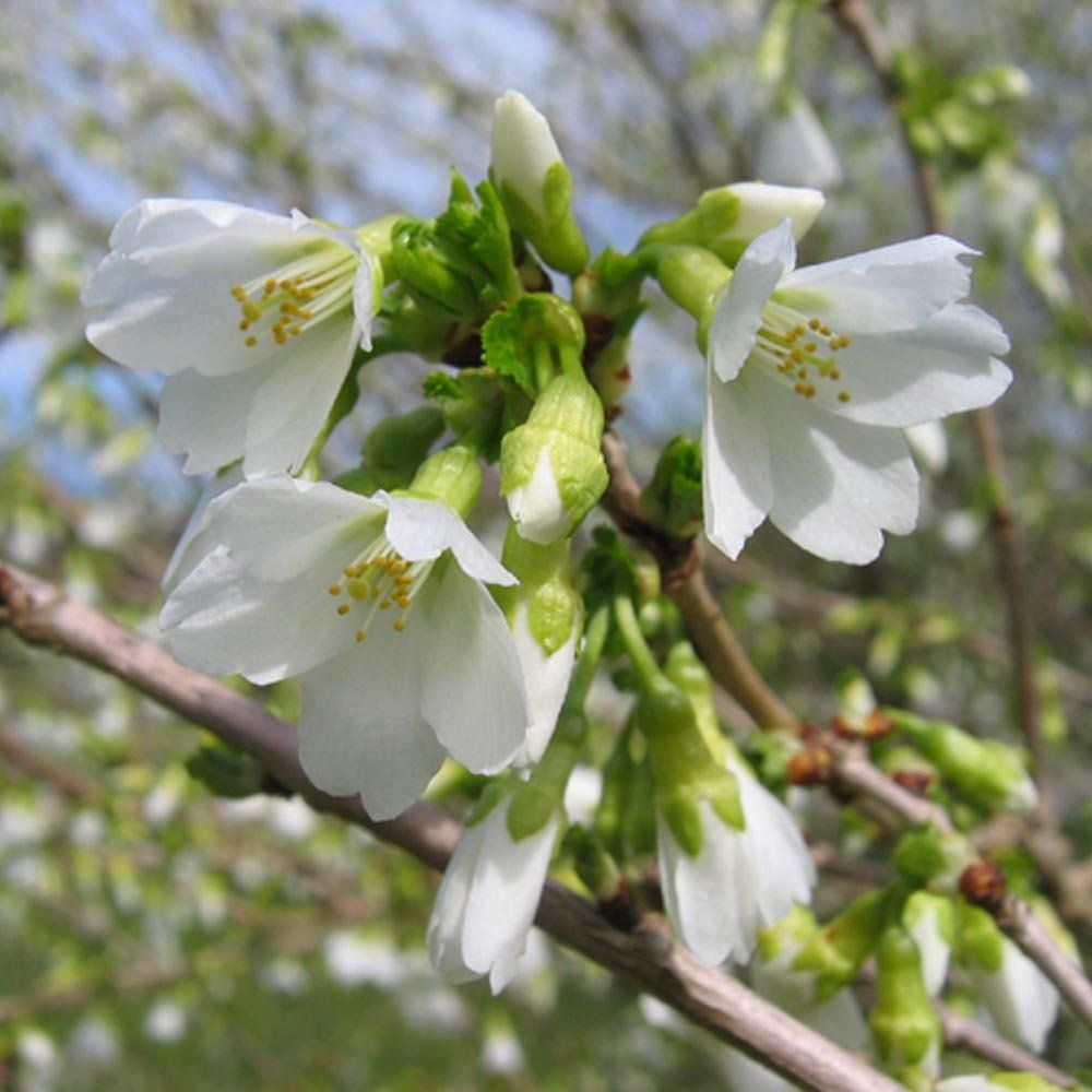 Prunus Incisa F Yamadei Tree Prunus Tree Identification Cherry Blossom Tree