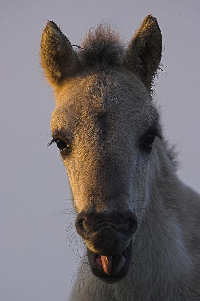 Oostvaardersplassen konikpaard