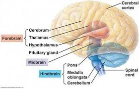 midbrain hindbrain forebrain - Google Search | Anatomy and ...