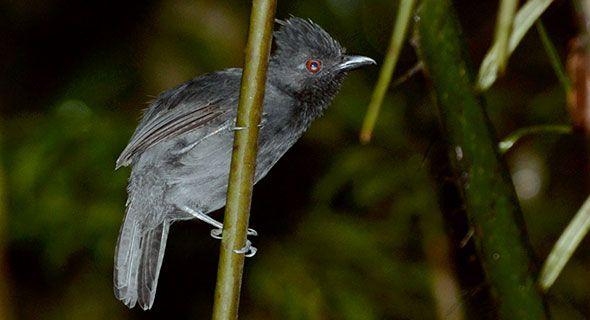 Borralhara-do-norte ( Frederickena viridis)
