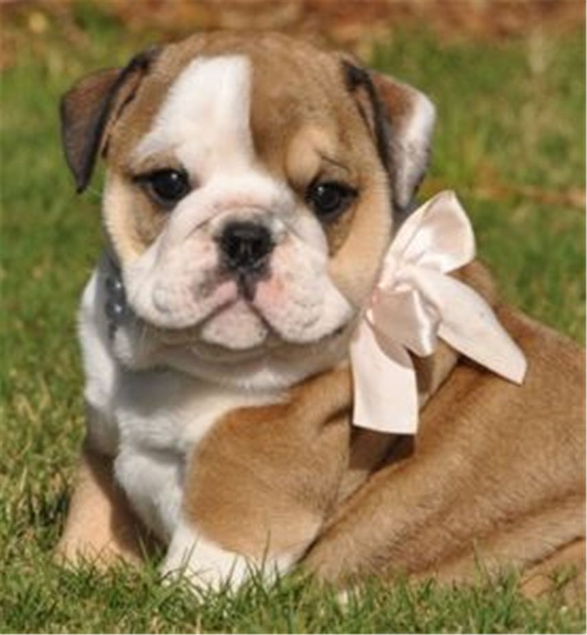20 English Bulldog Puppies And Facts You Should Know Does The