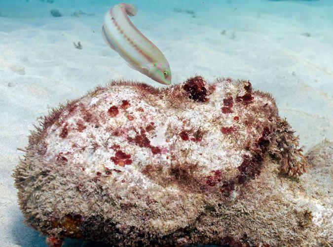 Underwater Sculpture Park, Grace Reef, Grenada. West Indies.