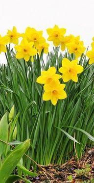Daffodils Flowers Garden Love Daffodil Flower Daffodils Flower Garden