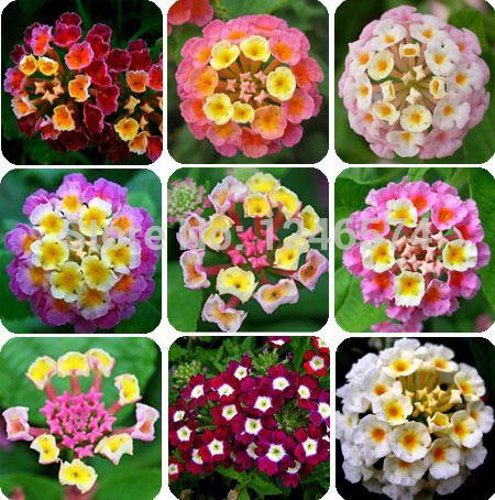 Lantana Full Sun July Bloom Annual Flower Seeds Lantana Plant Lantana Bush