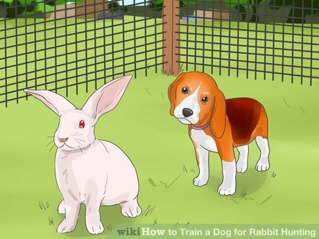 Train A Dog For Rabbit Hunting Rabbit Hunting Dogs Hunting