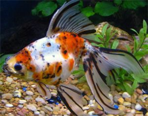 Goldfish and cold water fish fish pinterest goldfish for Cold freshwater fish