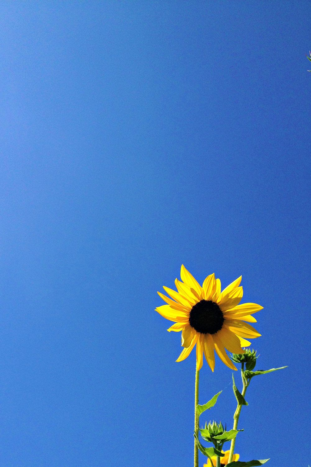 Royal Blue Art Minimalist Nature Photography Yellow Flower Photography Sunflower Art Print