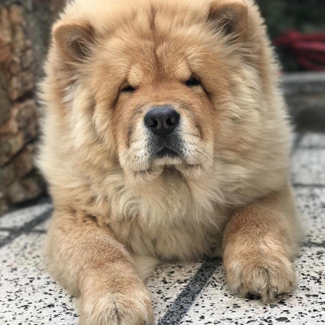 chow chow | Boo the dog, Chinese dog, Dogs
