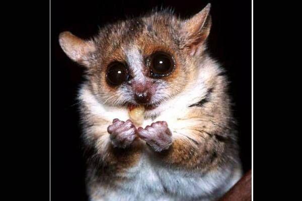 Bush baby? | Grey mouse lemur, Lemur, Endangered animals