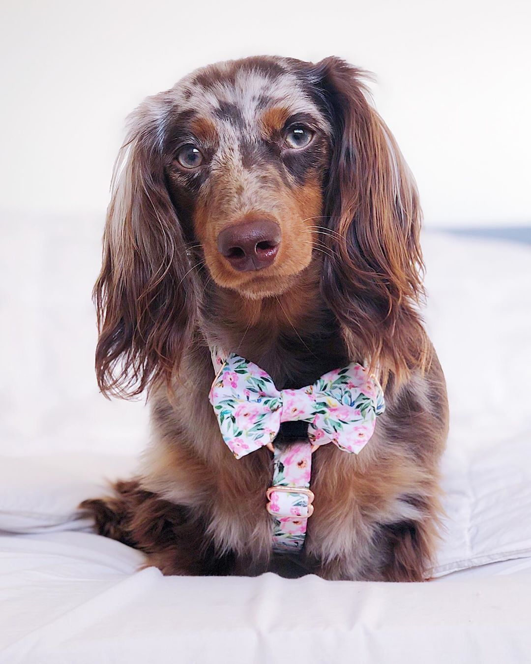 Dachshund Products Apparel And Gifts Dapple Dachshund