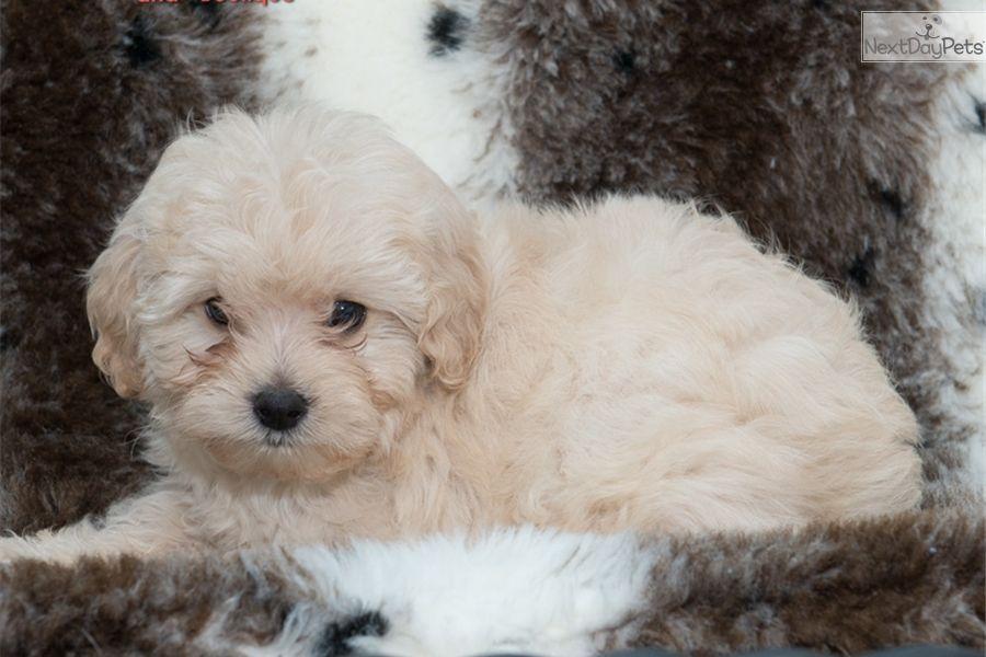 Gorgeous Yorkiepoo Female Puppy Yorkie Poo Yorkie Yorkie Poo For Sale