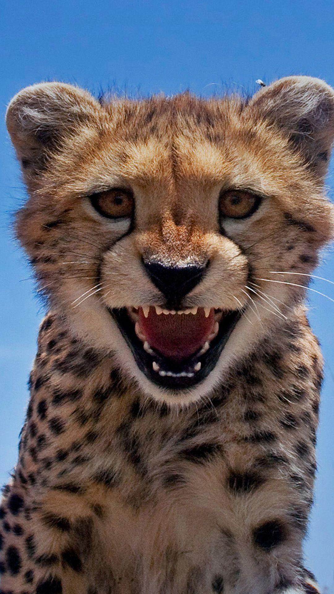 Little Leopard Shout Close Up iPhone wallpaper Room ideas .au