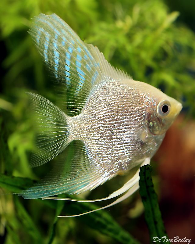 Plantinum Pearlscale Angelfish Angel Fish Aquarium Fish Tropical Fish
