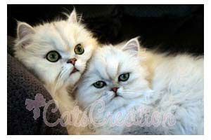 Persian Kittens For Sale Persian Cat Breeds Doll Faced Silvers