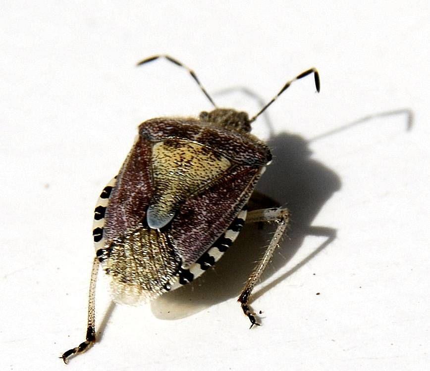 Dolycoris baccarum punaise des baies insectes plante - Insectes nuisibles du jardin ...