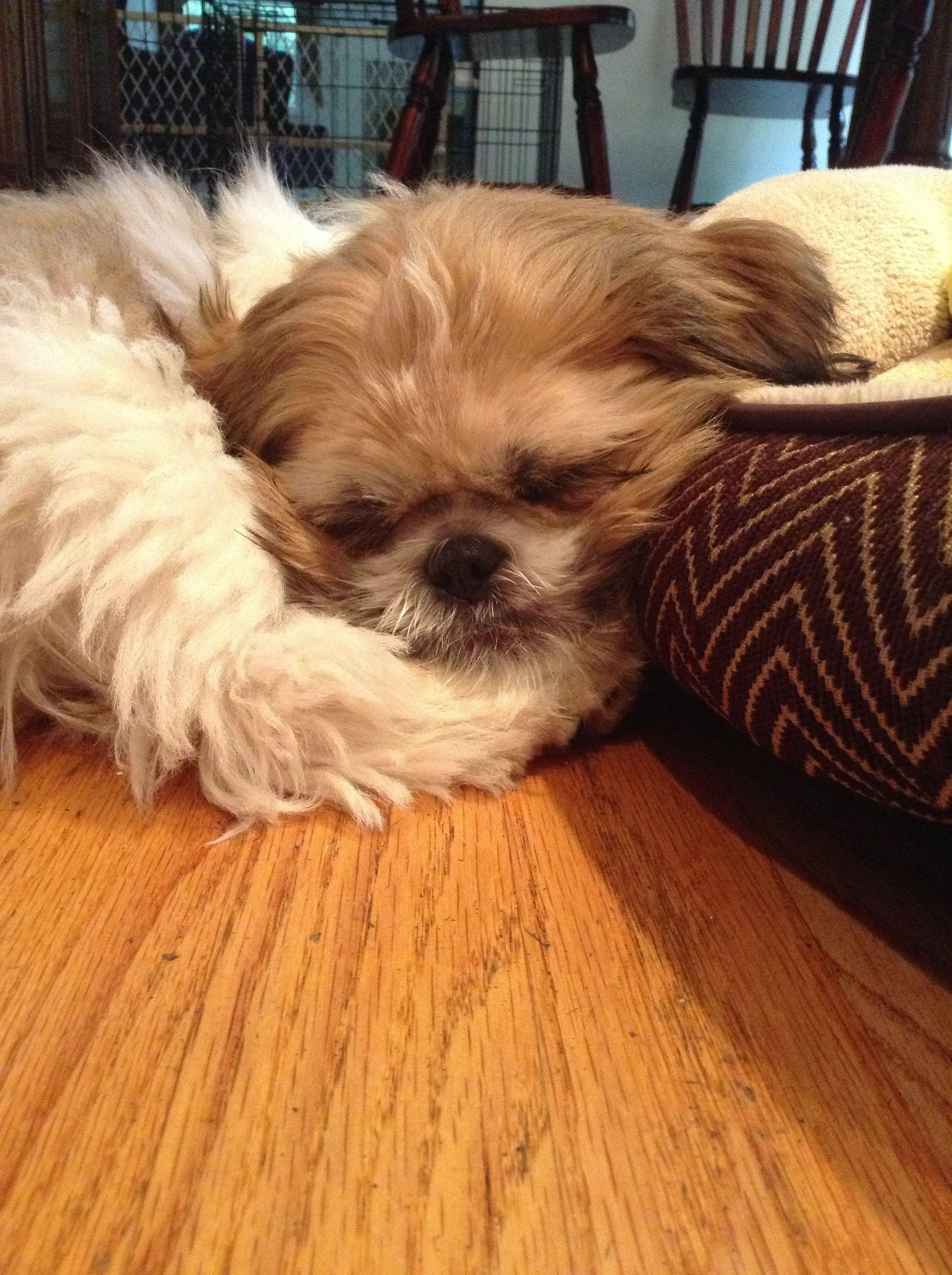 My Perfect Sleeping Puppy He S A Shih Tzu Named Toby Shih Tzu Dog Shih Tzu Shih Tzu Puppy