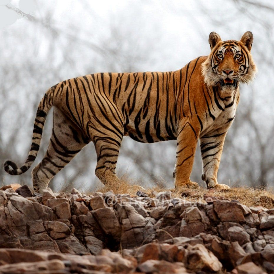 Beautiful Indian Tiger India Endangered species