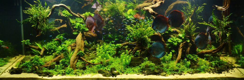 Vallisneria Potamogeton Gayi   Google Search | AQUASCAPING LAYOUT |  Pinterest | Aquariums, Fish Tanks And Freshwater Aquarium Plants