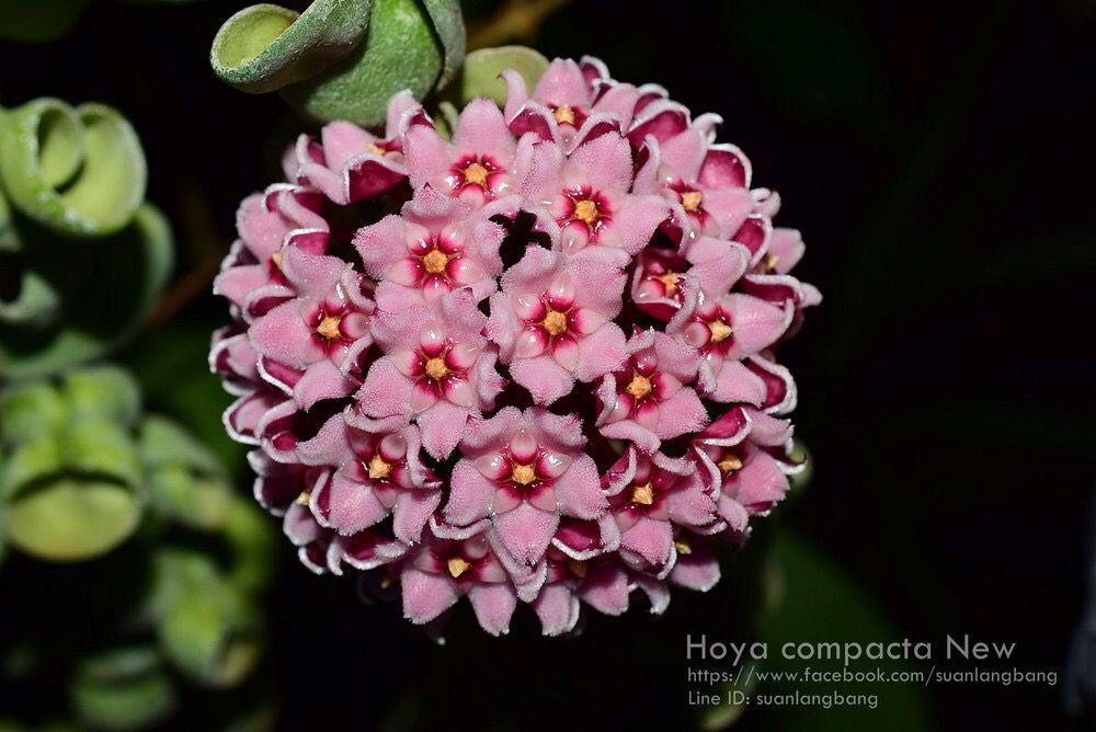 Hoya compacta new