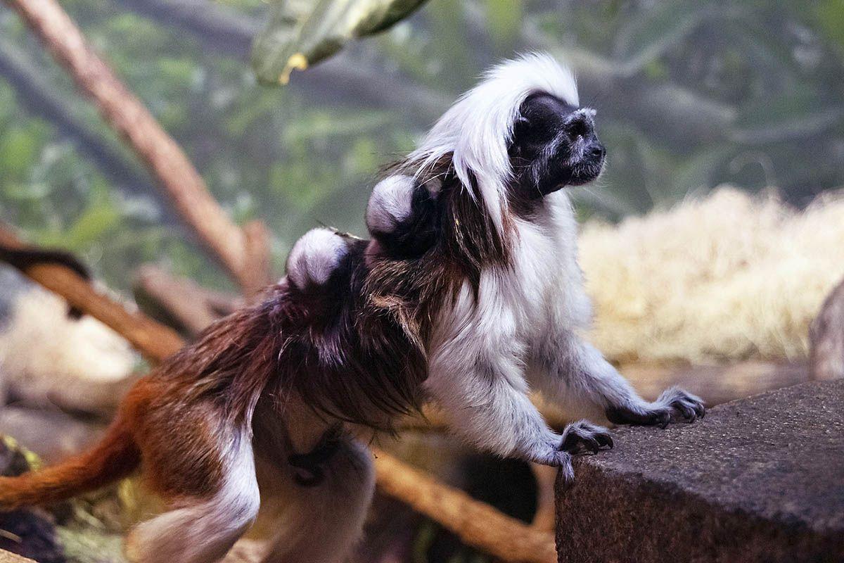 Nashville Zoo announces Tamarin Twins Born Zoo, Small