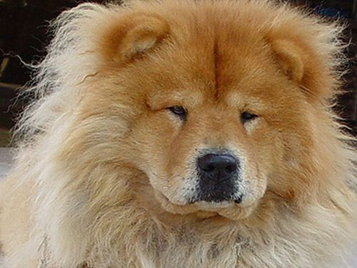Chow Chow Dogs Chow Chow Dogs Boo The Dog