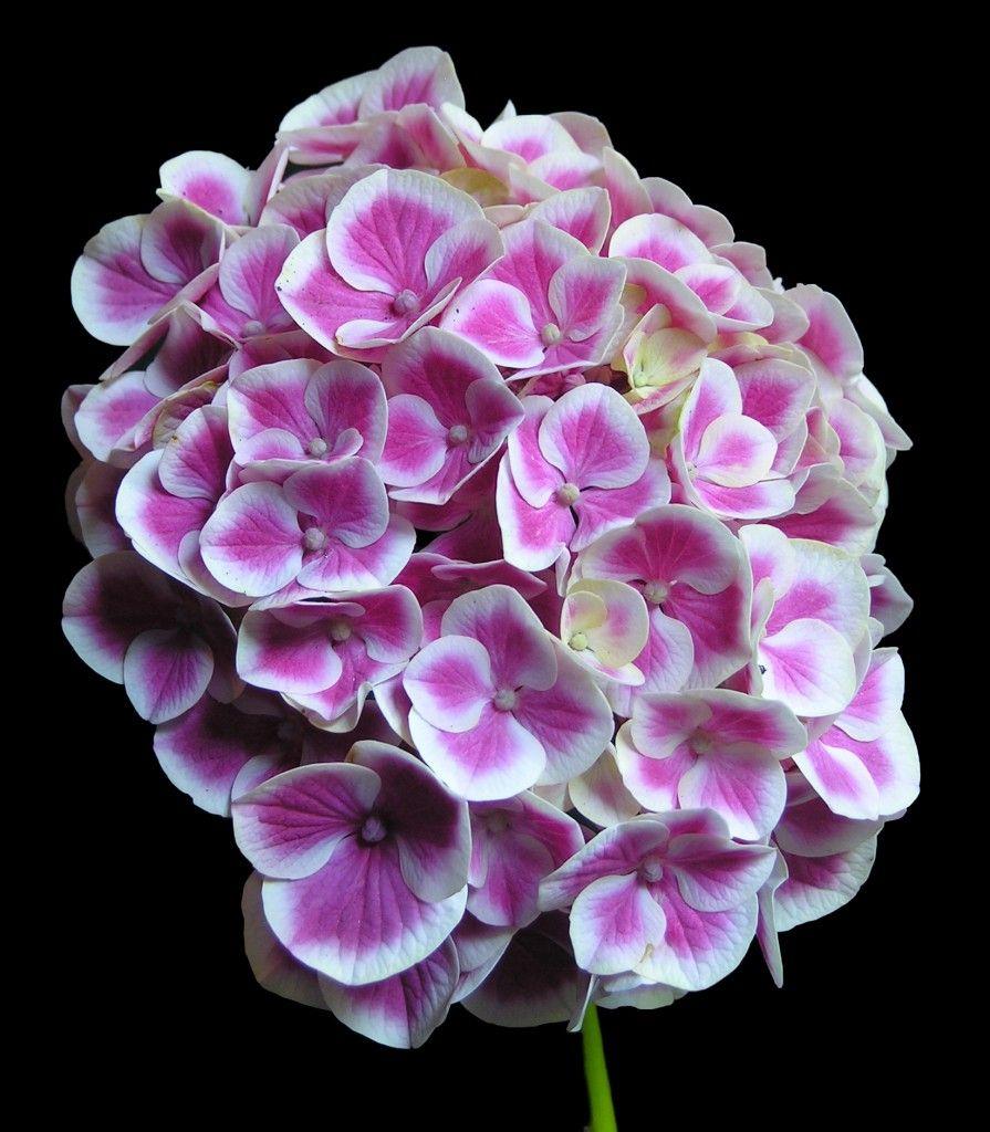 Hydrangea macrophylla 'Monrey', synonym 'Buttons'N'Bows