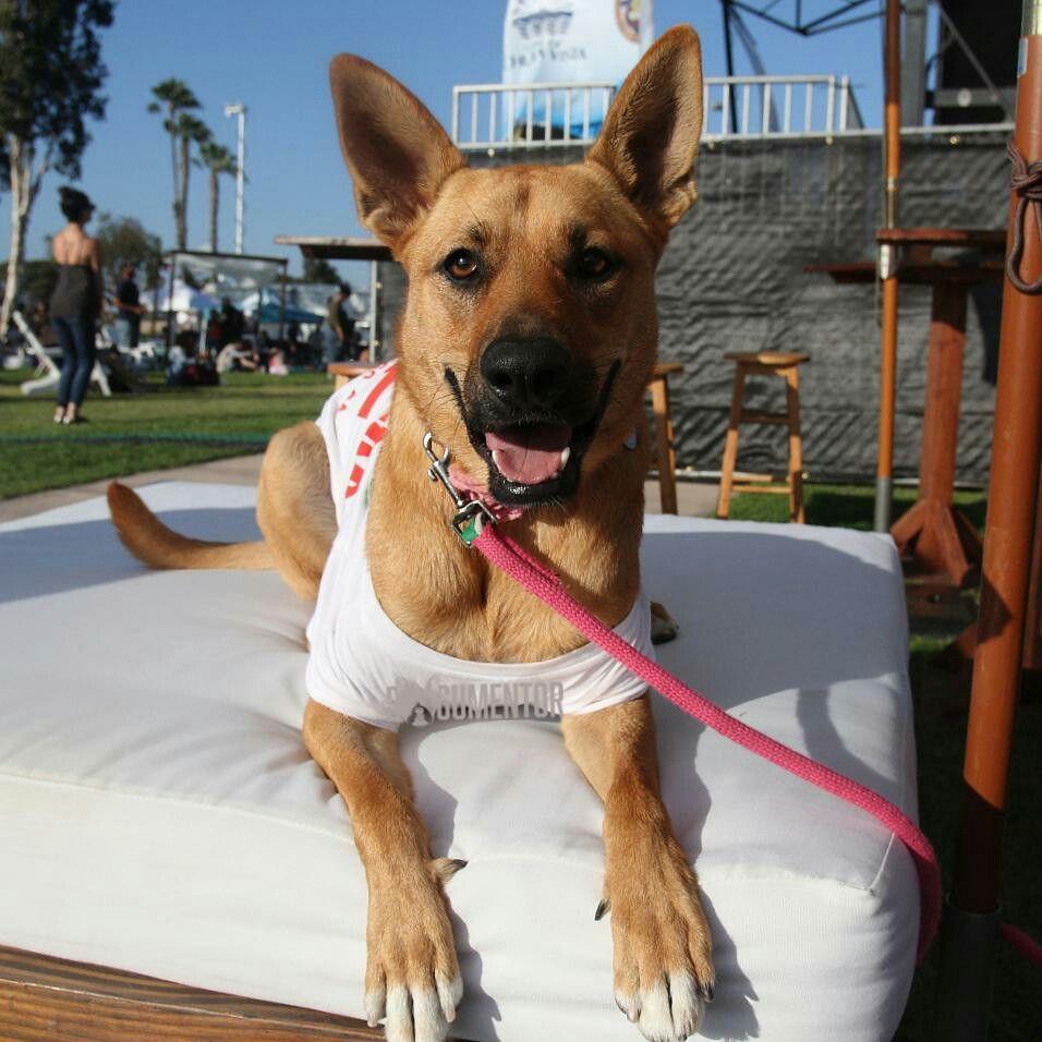 Amaya Super Mutt 1 5 Y O Chula Vista Harborfest She S A Service Dog In Training Service Dogs Dogs San Diego