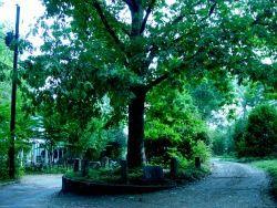 Tree that Owns Itself - Athens, GA