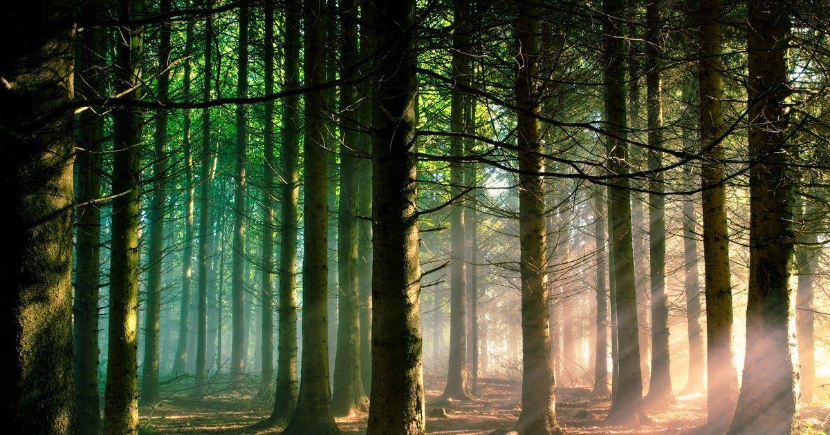 29 Background Pemandangan Pohon Pinus Its Resolution Is 1024x727 The Pemandangan Alam Hutan Pinus Above Is The Free Hd Wall Di 2020 Pemandangan Fotografi Alam Pohon
