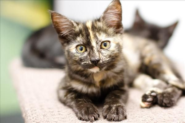 Hi! I'm Paisley, a bossy little kitten looking to take