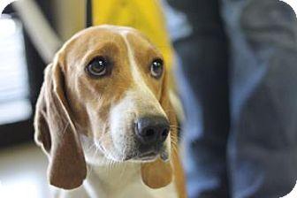 Longview Tx Basset Hound Mix Meet Elmer A Dog For Adoption