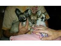 Reinrassige Langhaar Mini Und Normal Chihuahua Welpen Bayern Wemding Vorschau Chihuahua Welpen Welpen Hunde