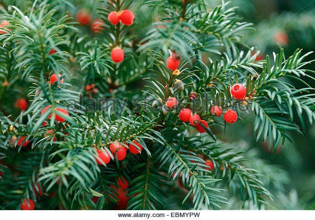 common yew english yew european yew taxus baccata with mature
