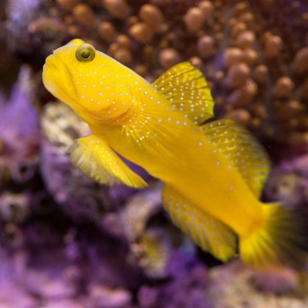 Yellow Watchman Goby Gobyfish In 2020 Nano Reef Tank Reef Tank Goby Fish