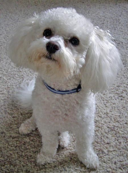 Tucker the Bichon Frise How about that!! This is a photo