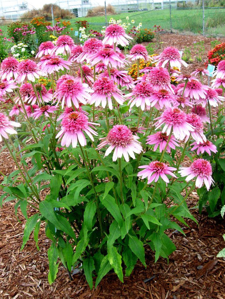 Echinacea Pink Sorbet Avec Images Idees Jardin Jardinage