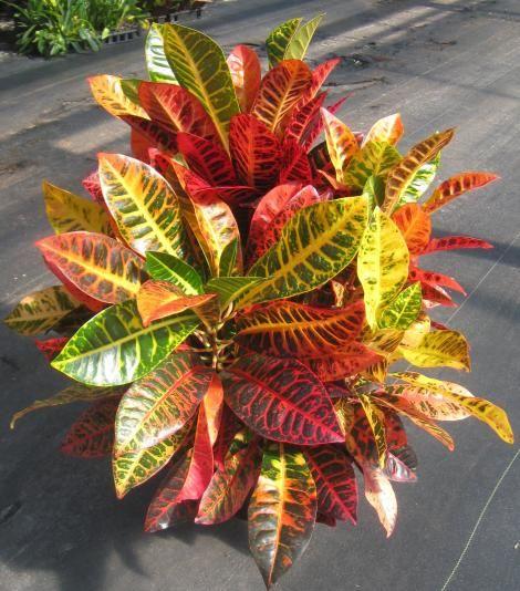 8 croton norma nature pinterest plants and foliage for Croton plant