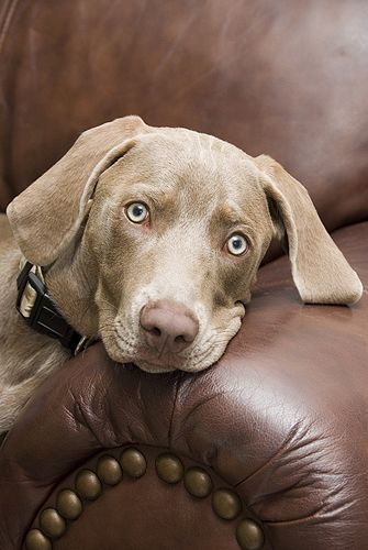 "Gail Shumway Photography | ""Moose"" the Weimaraner"