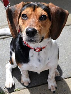 Pictures Of Milton A Beagle For Adoption In Atlanta Ga Who Needs