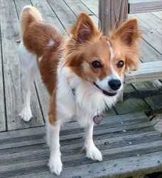 Athena In Pa Is An Adoptable Papillon Dog In Scranton Pa