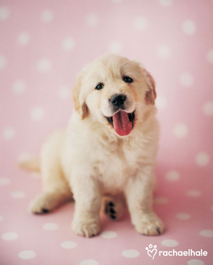 Samuel Golden Retriever Samuel Wonders Why He Is Seeing Spots Golden Retriever Animal Photography Dogs Dogs
