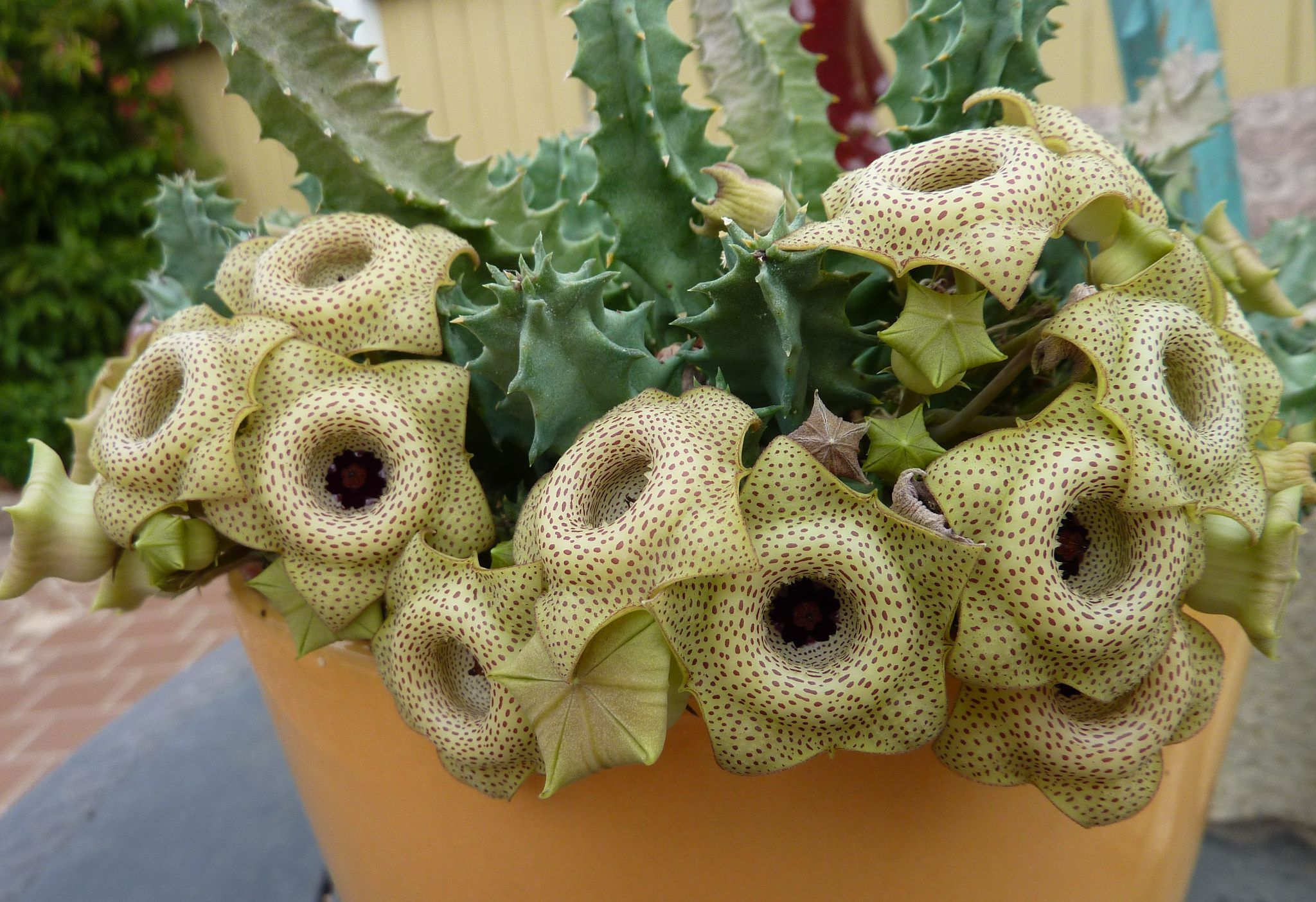 huernia brevirostris succulents pinterest kaktus. Black Bedroom Furniture Sets. Home Design Ideas
