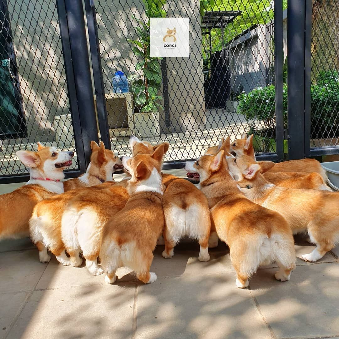 There S A New Corgis Cafe And The Photos Are More Adorable Than
