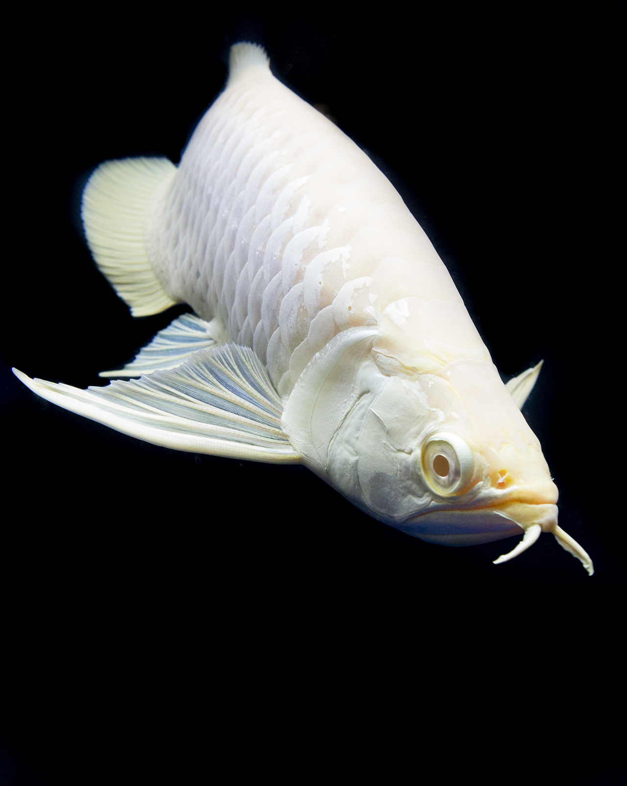 Albino Silver Arowana Poissonpassion Ikan Tropis Ikan Akuarium Ikan Air Tawar