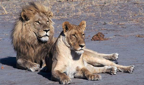 Stop Cruel and Cowardly 'Canned' Lion Hunts